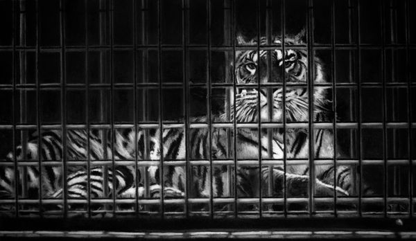 """Study for tiger in cage"""